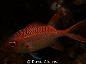 Soldierfish sp. Truk Lagoon, Sony Rx 100 in Nauticam hous... by David Gilchrist